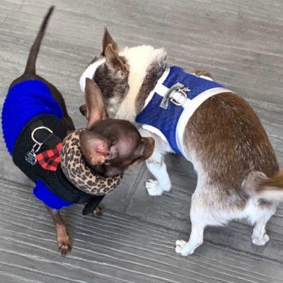 OC Chihuahua Meetup at Hala's Paws